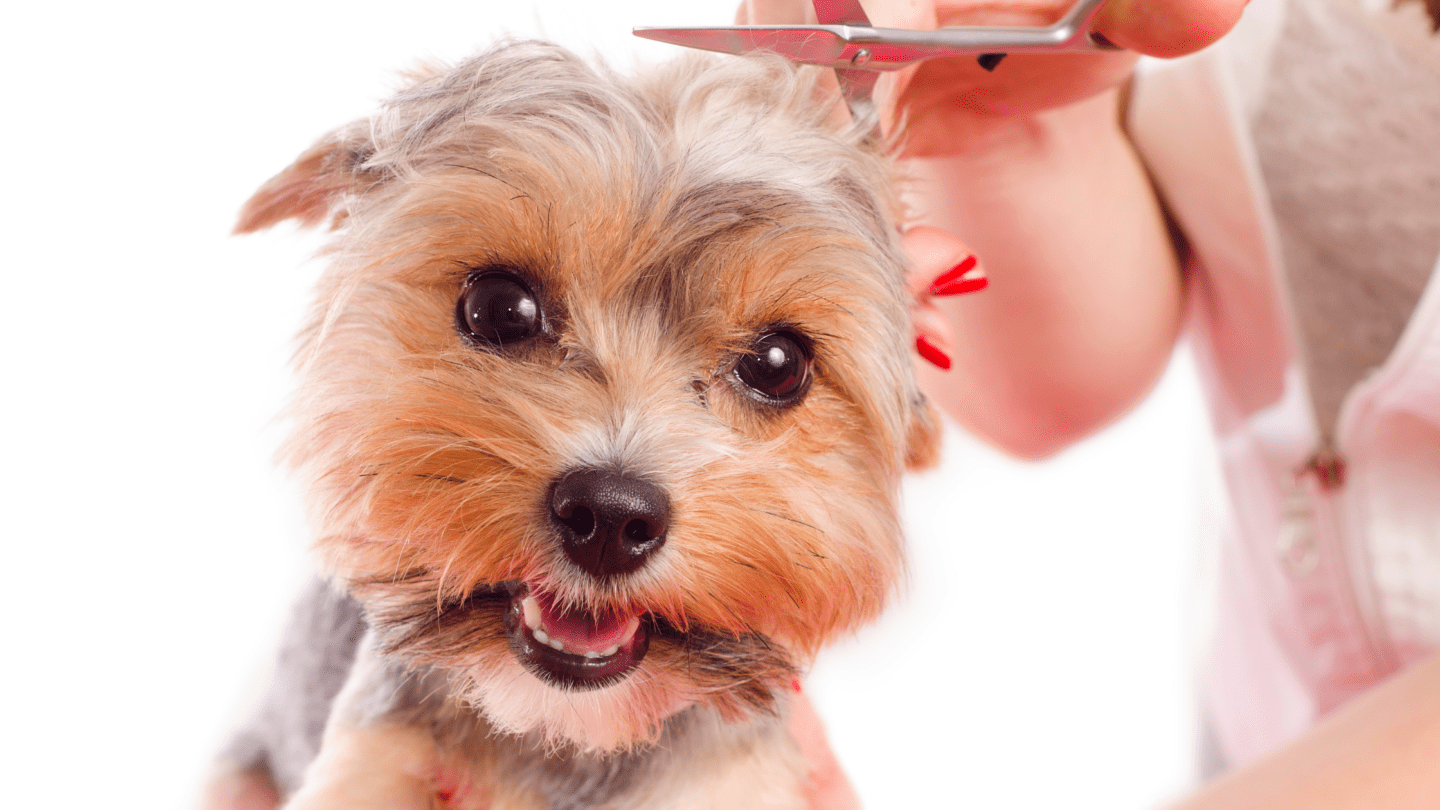 yorkie terrier about to get a haircut
