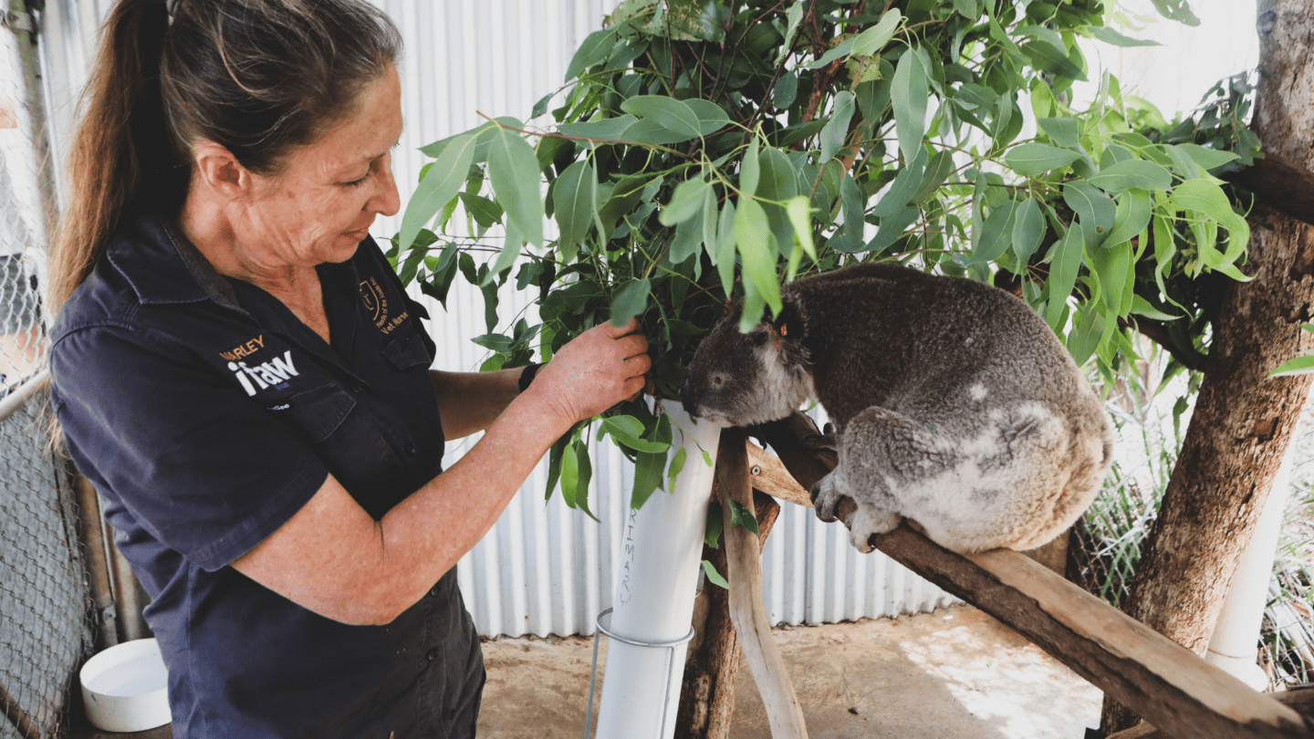 lady helping koala